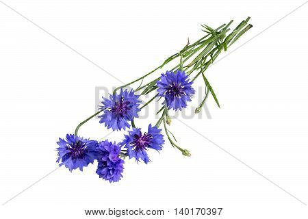Medicinal plant Centaurea cyanus commonly known as cornflower isolated on a white background