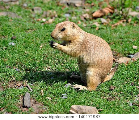 small animal in the grass - rodent whiz