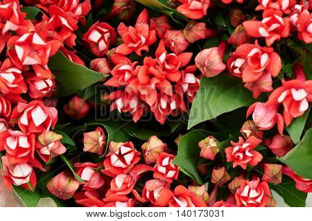 Floral red small flower bouvardia for interior decoration and bouquets. Texture