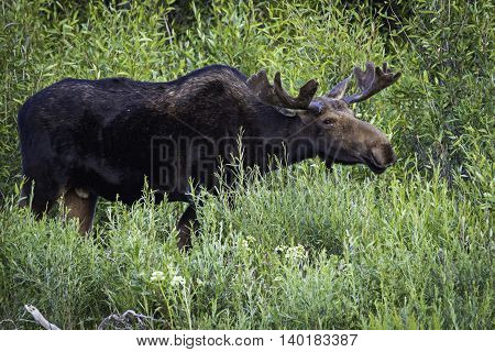 Young Bull Moose Feeding in Jackson Hole Wyoming