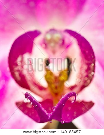 Purple orchid flower close-up view with drops