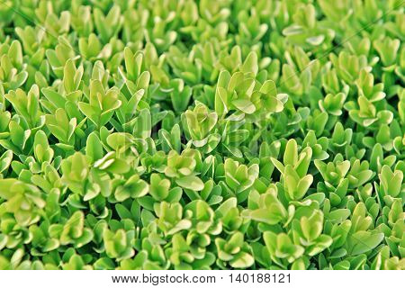 a close up detail of a boxwood