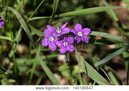 Flower of European Venus looking glass (Legousia speculum veneris) an ornamental plant from Central and Southern Europe.