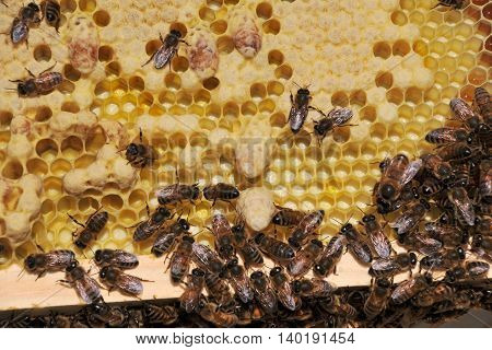 Brood comb with capped Drone and Queen cells