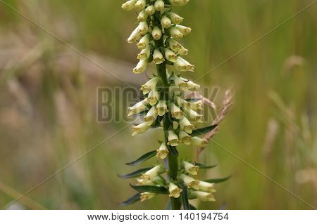 Flowers of a straw foxglove (Digitalis lutea ssp. Australis) a rare endemic in Southern Italy.
