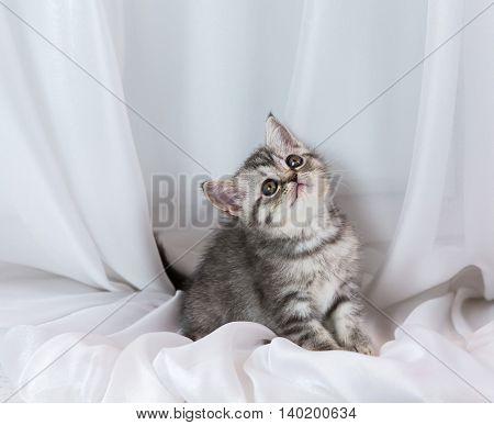 Beautiful little tabby kitten on a window sill. Scottish Straight breed.