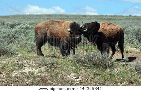 Bison Bulls sparring in Hayden Valley in Yellowstone National Park in Wyoming USA
