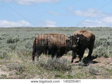 Young Bison Bulls sparring in Hayden Valley in Yellowstone National Park in Wyoming USA