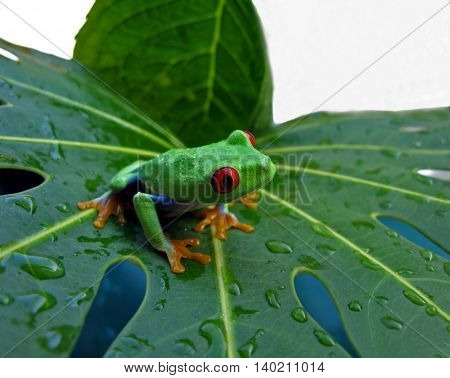 Red eye tree frog on wet leaf with white background.