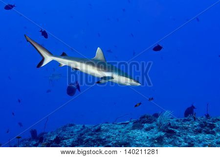 Grey Shark Ready To Attack Underwater In The Blue