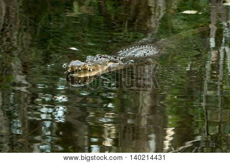 The American alligator in water with open mouth and big teeth. Florida Everglades. FLORIDA