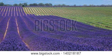 Lavender field in France during harvest, Provence