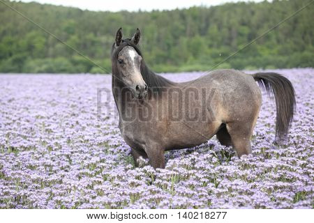 Nice Arabian Horse Standing In Fiddleneck Field