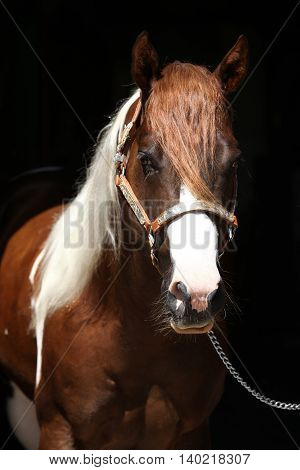 Portrait Of Beautiful Paint Horse Stallion