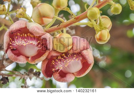 Cannonball Tree flower a flowers of Buddhism in Thailand
