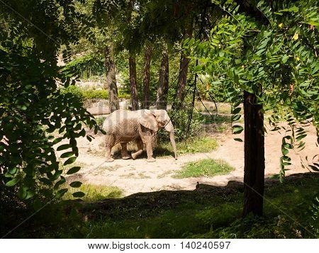 Adult elephant walk in the natural green paddock at the zoo