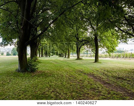 Footpath running through beautiful linden tree alley