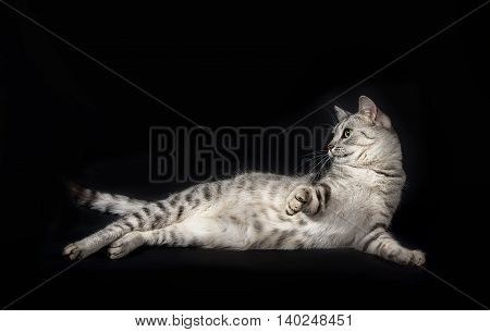 Beautiful grey cat, portrait of cat, Cat portrait close up, cat head, beautiful Cat portrait close up, looking straight, cat isolated in dark background with space for advertising and text