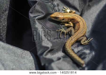 Green Lizard On A Black Tissue