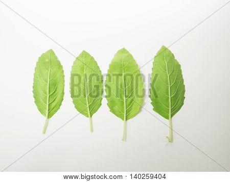leaf gourami leaflet foliage hot basil herb Medicinal plants food seasoning ingredient flavouring spice
