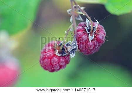 Close up of ripe red wild Raspberries (Rubus spp) growing in nature. Shallow depth of field.