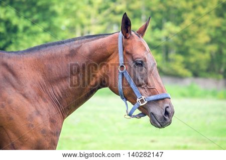 Portrait of beautiful horse with rope halter.