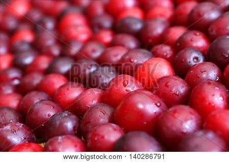Background of a harvest of juicy cherry plums