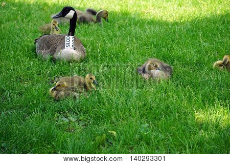 BROOKFIELD, ILLINOIS / UNITED STATES - MAY 21, 2016:  Baby Canada geese (Branta canadensis) rest on a lawn, under their parents' protection.