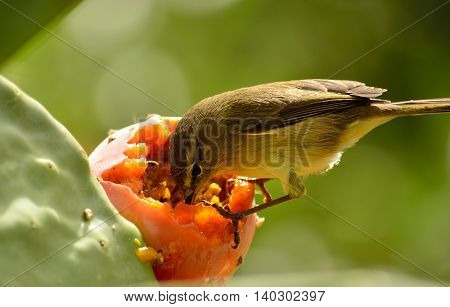 Small bird eating the fresh fruit on prickly pear, Phylloscopus poster