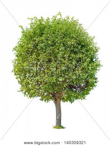 Green tree with round crown isolated on white background.
