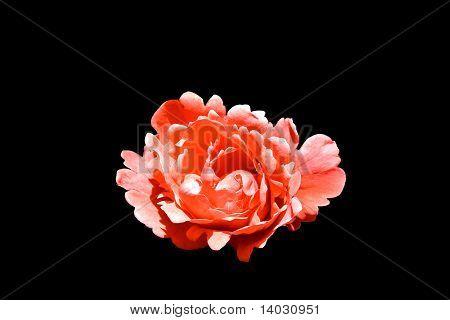 Ragged Red Rose