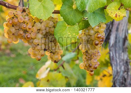 close up of ripe sauvignon blanc grapes