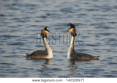 Great Crested Grebe (Podiceps cristatus) couple courtshipping in water