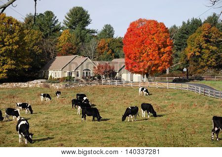 cows in autumn farm with colorful woods and farm house