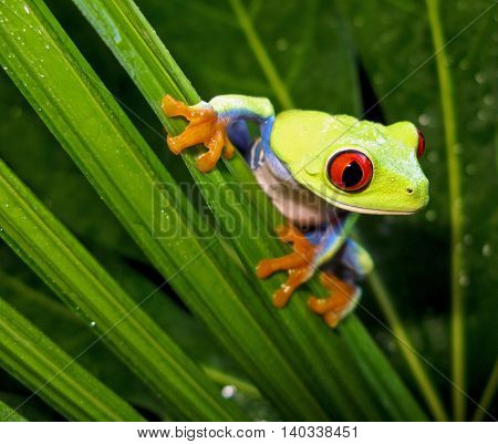 Red eye tree frog on wet palm leaf in rainforest staged environment.