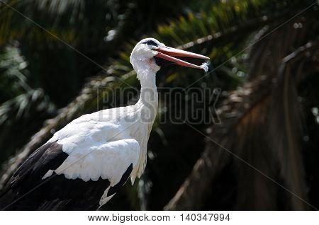 Single stork in Turkey in the summertime