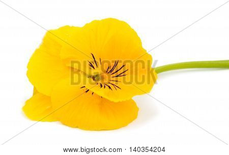 flowerhead yellow pansies on a white background