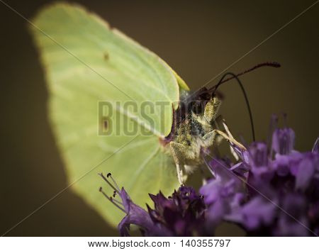 a brimstone butterfly pollinating a purple flower