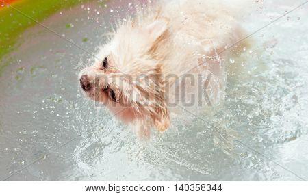 White pomeranian dog shakes off water inside swimming pool