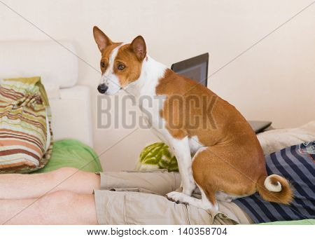 Cute basenji using his master body as a pillow