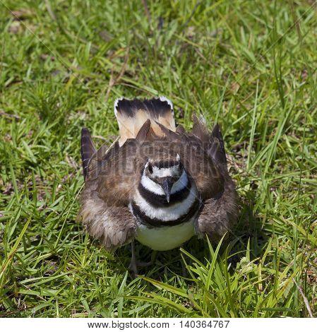 Bird called a killdeer looking at the photographer on grass