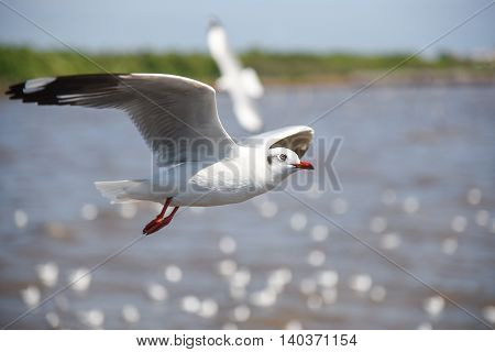 Seagull (white seabird) fly over the sea