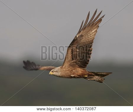 Black kite (Milvus migrans) in flight with vegetation in the background