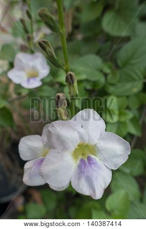 Justicia Gangetica in thai on natural background
