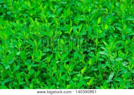 Green knotgrass