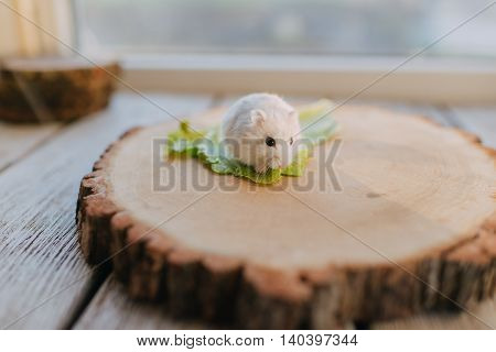 on a wooden table wood bar with white fluffy hamster