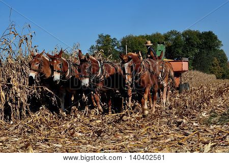 Lancaster County Pennsylvania - October 19 2015: Amish farmer operating a threshing machine that removes the corn cobs from the dried plants pulled by a team of seven donkeys