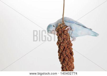 Forpus eating millet spray on white background