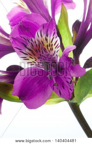 a beautiful purple flower with several offshoots