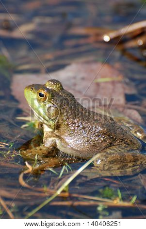 Toad sitting in shallow water of a swamp.
